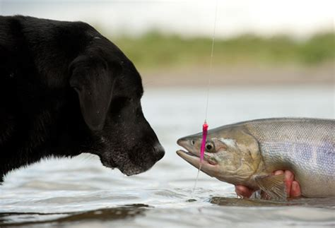 can dogs salmon salmon linked to in dogs the fisheries