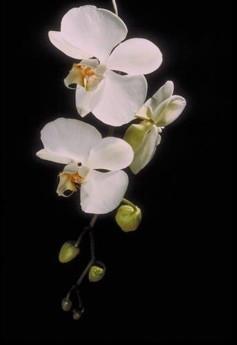 cura delle orchidee in appartamento cura dell orchidee phalaenopsis piante da appartamento
