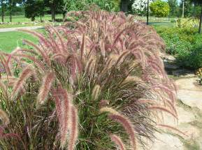 how to grow ornamental grasses gardening
