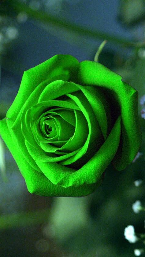 green rose mobile wallpaper  hd wallpapers