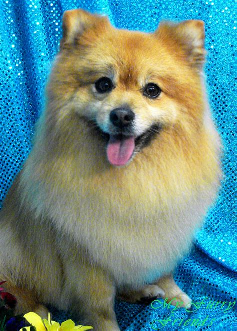 pomeranian hair pomeranian chihuahua haircuts 25 best ideas about pomeranian haircut on