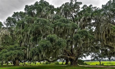 wide tree beaufort s live oak trees