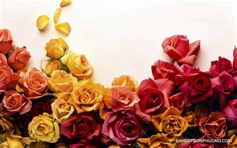 tai hinh ve tải h 236 nh ảnh hoa hồng đẹp tặng người y 234 u thương