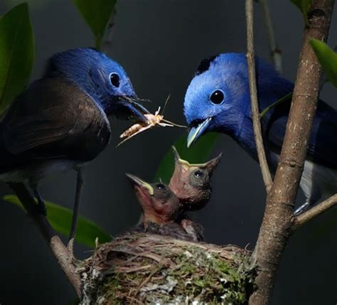 blue bird family birds animals background wallpapers