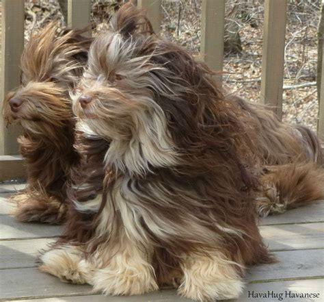 havanese breeders michigan havahug havanese puppies havahug havanese puppies of michigan