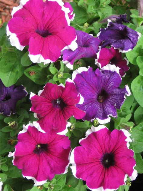 petunia colors petunia mix the colors of flower power