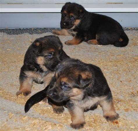 3 week german shepherd puppies three week german shepherd puppies majestic kennels