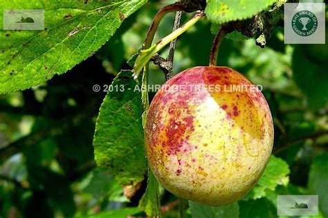 ordering fruit trees jeffersons plum trees for sale buy mail order