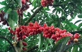 Harga Furadan 3 G cara menanam bibit jambu jamaika berbagai macam budidaya