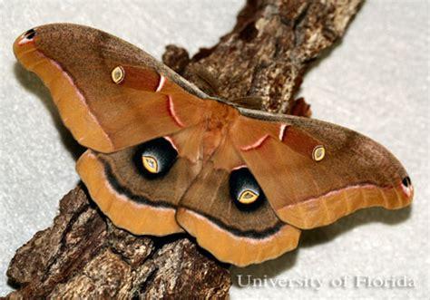 polyphemus moth antheraea polyphemus cramer