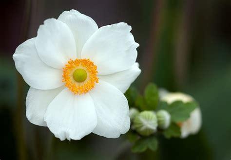 anemone flower weneedfun