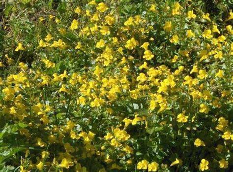 fiori di bach mimulus mimulus fiore di bach cosa 232 e a cosa serve mimulus dei