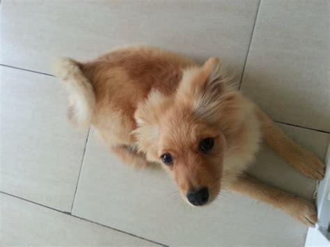6 month pomeranian pomeranian 6 months corby northtonshire pets4homes