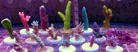 aquascape ottawa key things to keep in mind when mounting sps frags to your
