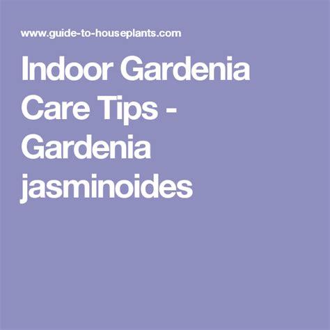 indoor gardenia care tips gardenia jasminoides