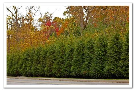 thuja green giant arborvitae sugar creek gardens plant