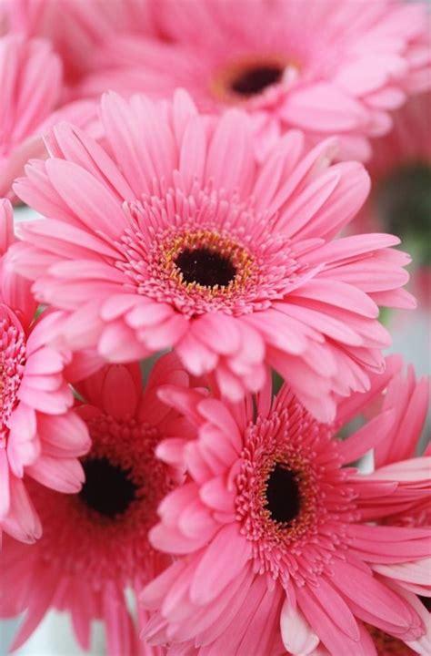 Ideas For Gerbera Flowers Best 25 Gerbera Flower Ideas On Gerbera Cake Gerbera Flower Pictures And Fondant