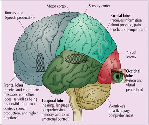 sensory and motor areas of the brain the brain psychological study