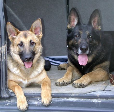 german shepherd puppies alabama lost and found gsds