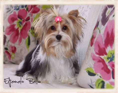 yorkies for sale cape town 25 best ideas about yorkie puppies for sale on yorkie dogs for sale
