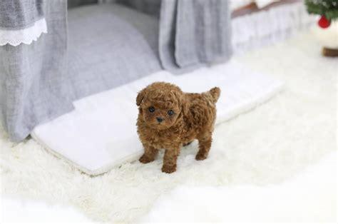 micro teacup poodle lifespan grown micro poodle photo