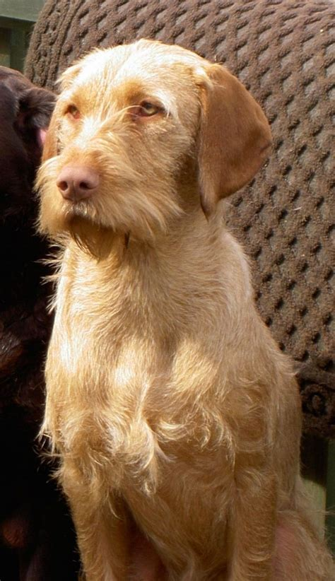 wirehaired vizsla puppies hungarian wirehaired vizsla s for sale lancashire pets4homes