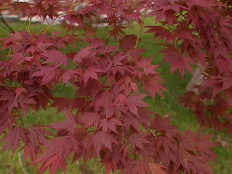 maple colors episode 1 the basics on japanese maples hgtv