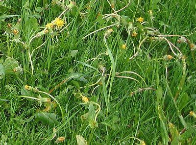 Unkraut Im Rasen Spritzmittel 1255 by Unkrautbek 228 Mpfung
