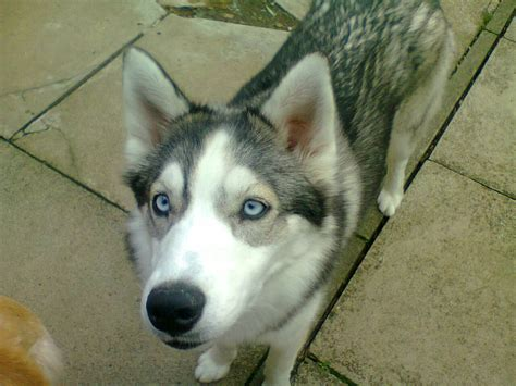 siberian husky dog house siberian husky fully house trained morpeth northumberland pets4homes