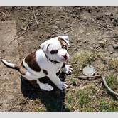white-boxer-pitbull-mix