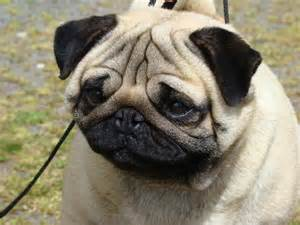 pug breed pug dogs picture