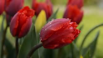 tulpen in der vase richtig pflegen tulpen im garten richtig pflanzen und pflegen tipps f 252 r