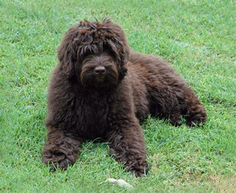 female labradoodle hair styles 1000 images about labradoodle haircut on pinterest