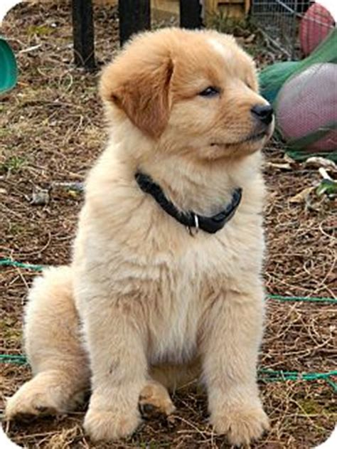 golden retriever chow puppies puppy honey adopted puppy salem nh golden retriever chow chow mix