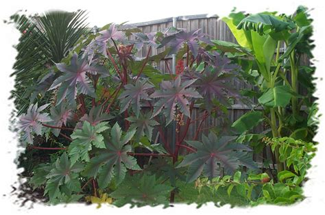 castor bean you should grow that