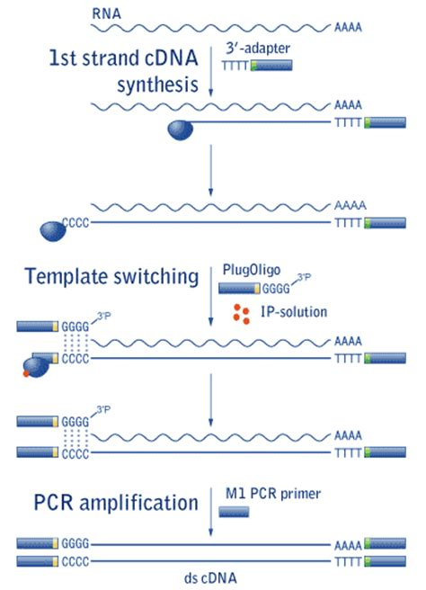 transcriptase template switching length enriched cdna synthesis kit