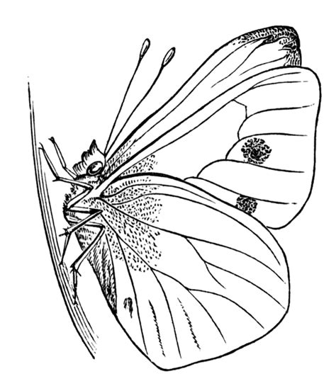 butterfly chrysalis coloring pages imago butterfly clipart etc