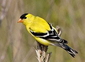 Rocky Pet Barn American Goldfinch Identification All About Birds