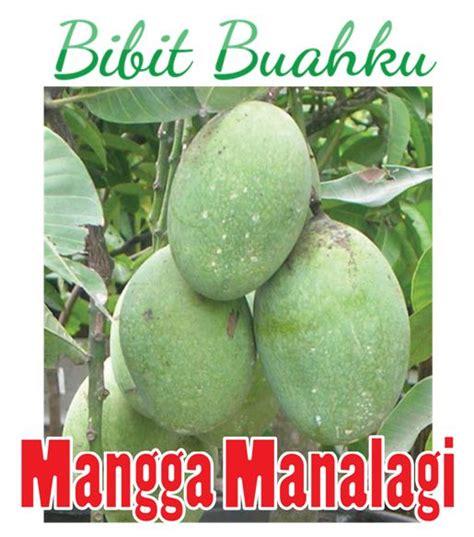 Bibit Tanaman Buah Sawo Manalagi Bibit Sawo Unggul bibit mangga manalagi 45cm up bibit buahku