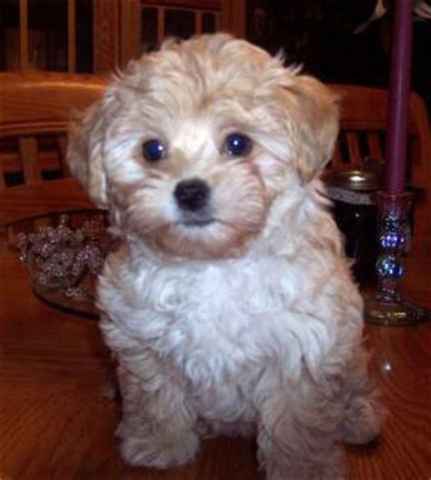 bichon poodle lifespan we re looking for a furbaby