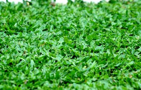 Bibit Rumput Gajah Mini cara menanam dan perawatan rumput gajah mini tanaman berguna