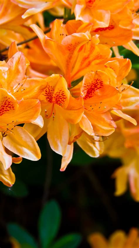 light orange flowers hd android wallpaper