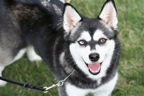alaskan klee puppies alaskan klee info temperament puppies care pictures