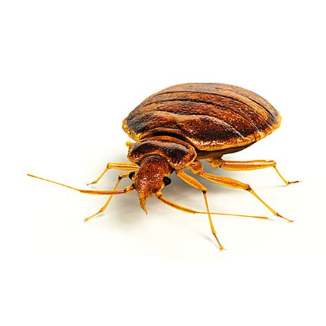 bed bugs wiki home active pest control 174 pest control