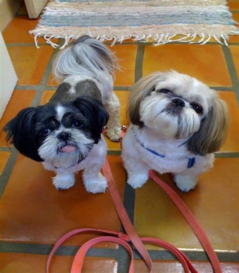 shih tzu ewok haircuts 22 best images about shih tzu haircuts on pinterest