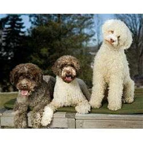 lagotto romagnolo puppies for sale lagotto romagnolo puppies for sale from reputable breeders