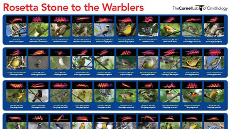 rosetta stone canada a rosetta stone for identifying warblers migration calls
