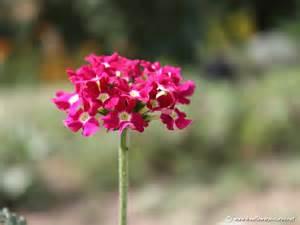 verbena pictures verbena flower pictures