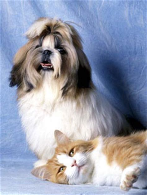 maltese and shih tzu difference easily mistaken breeds reggie s house