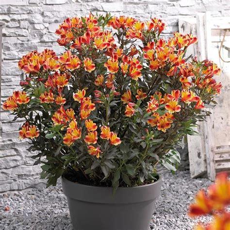 alstroemeria fiore alstroemeria piante da giardino giglio per 249